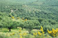 Olivenholz Seifenschale mit der HELLEO Handgemachte Kretische Bio-Olivenöl Seife mit Granatapfel & Rotwein